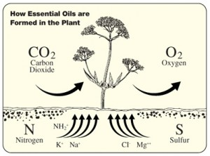 Minerals and Carbons are combined with nitrogen in the soil to form amino acids in the plant. These amino acids form proteins that contribute to essential oil formation.